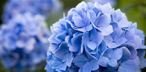 hortensien mit essig gießen hortensien sind bl 252 hende pflanzen