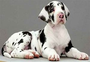 Harlequin Great Dane Puppy | GREAT DANES | Pinterest