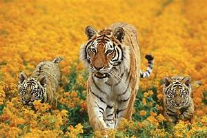 Number of wild tigers rises for first time in 100 years ...