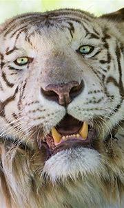 Male white tiger portrait II | White tiger, Animals ...