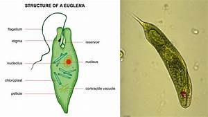 Knowledge Class  Euglenoids