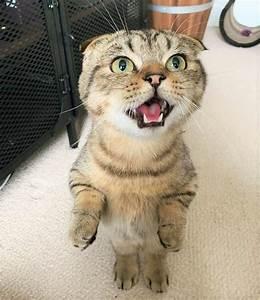 scottish, fold, munchkin, cat, , the, instagram, famous, cat, we