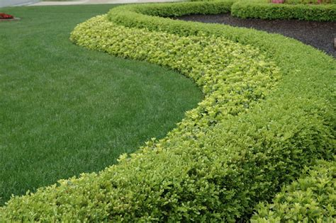 strong statement hedge row boxwood  pachysandra