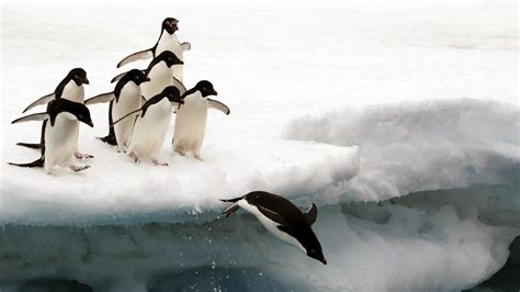 National Geographic Animal Hd Wallpapers - animals penguins national geographic 1920x1080 wallpaper
