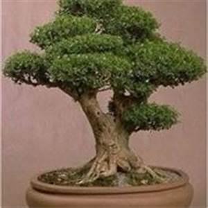 Bonsai perde foglie Bonsai Malattie del bonsai