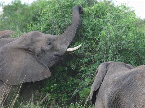 elephant cuisine elephants of murchison falls reaching for food of