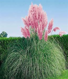Welche Pflanzen Passen Zu Rosen : rosa pampasgras ziergr ser bei baldur garten ~ Lizthompson.info Haus und Dekorationen