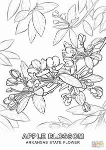 arkansas coloring pages - arkansas state flower coloring page free printable