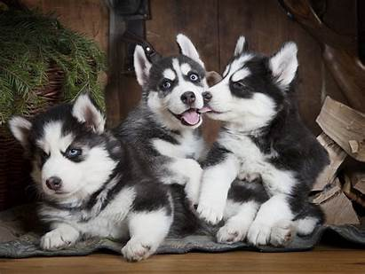 Husky Puppies Siberian Dog Three Puppy Dogs