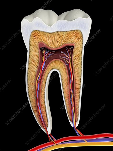 molar tooth cross section artwork stock image