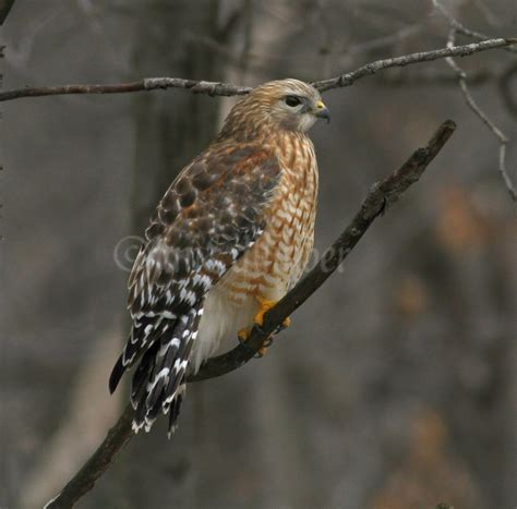 red shouldered hawk in marquette county wisconsin on march