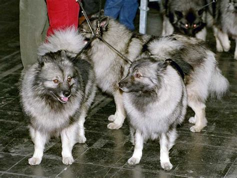 Filekeeshond Jpg Wikimedia Commons