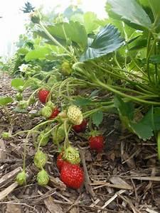 Plant De Fraisier : plant de fraisier cirafine ~ Premium-room.com Idées de Décoration