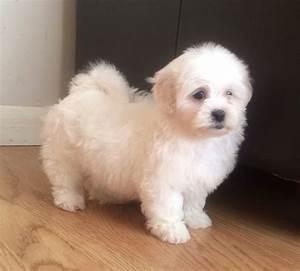 malshi puppy minnie maltese x shih tzu birmingham