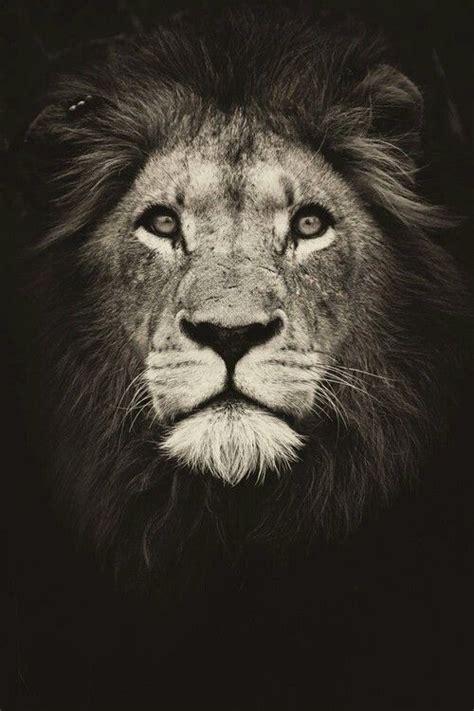 powerful wallpapers lion wallpaper lion tattoo