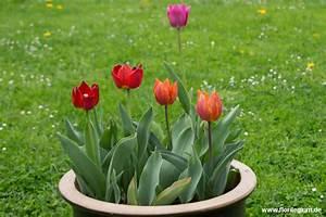 Tulpen Im Garten : gartengestaltung tulpen im blumentopf florilegium ~ A.2002-acura-tl-radio.info Haus und Dekorationen