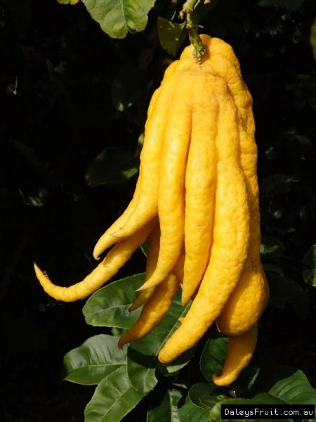 citron buddhas hand citrus medica