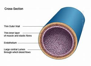 Arteries Veins And Capillaries