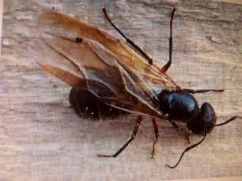 carpenter ants with wings winged carpenter ants