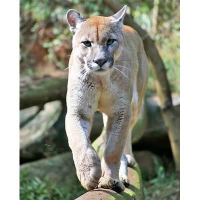 Panoramio - Photo of Puma ( Felis concolor ) Fauna