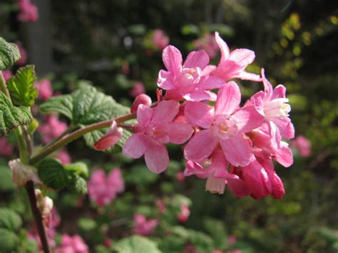 pink flowering shrubs spring flowering shrubs rainyleaf