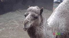 camel funny GIFs Search | Find, Make & Share Gfycat GIFs