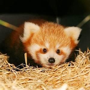 Baby red panda.