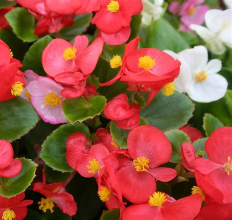 wax begonias are shade tolerant and bloom generously its shiny thick leaves offer great texture