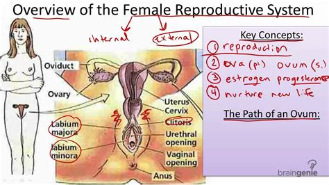 We know that female body parts are amazing and interesting. Female Parts : He Says/She Says: The Ideal Male/Female ...