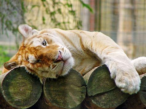 Golden Tabby Tigers Emaze