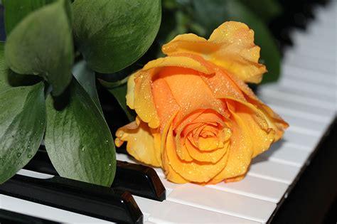 fondos de pantalla rosas amarillo piano flores descargar