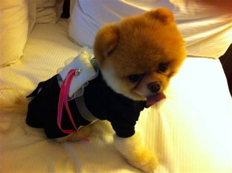 169 best boo the pomeranian images on