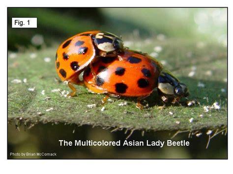 ladybug vs asian beetle asian lady beetle lab news diagnostician extension entomology kansas state university