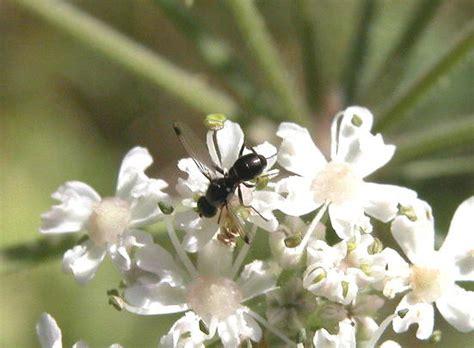 Schuster und werdan (2005) definieren sepsis wie folgt: Sepsis sp. diptère mystère - Le Monde des insectes
