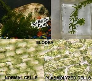 Plasmolysis of Elodea