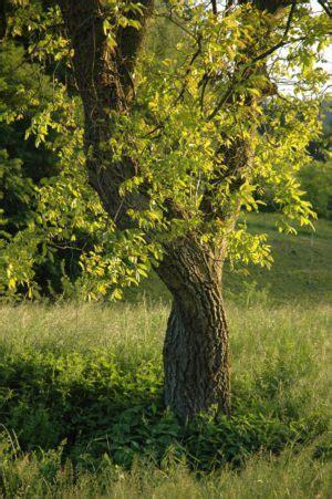 nussbaum baum des neubeginns lebensbaum