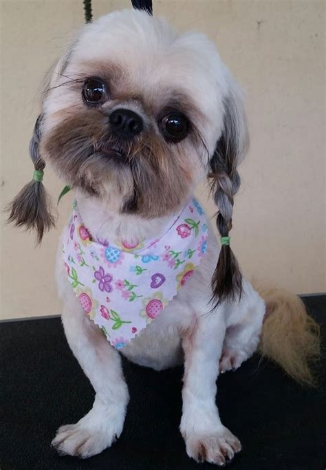 top  popular shih tzu haircuts  pictures page