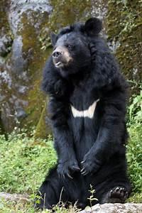 File:HImalayan black bear, India (8085531754).jpg ...