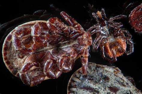 microscopic parasites ticks mites dermacentor