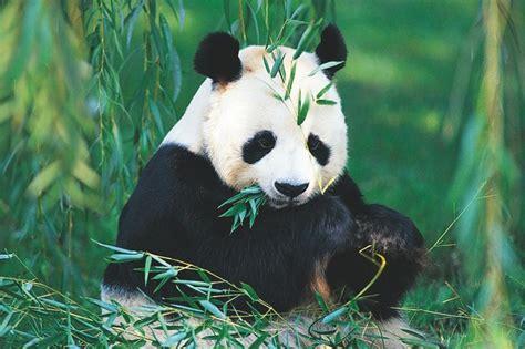 modern homes interiors osos panda caracter sticas de los osos panda fotos de