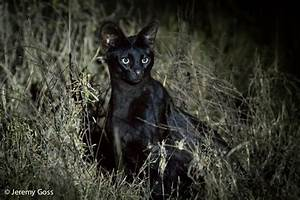 When a serval meets a melanistic friend - Africa Geographic