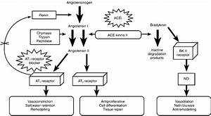 The Sites Of Action Of Ace Inhibition And At 1