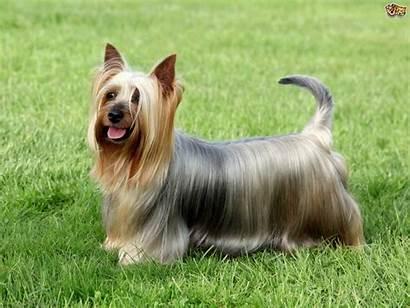 Terrier Silky Australian Dog Breeds Dogs Stud