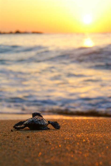 baby sea turtle sunset perfect   sand turtles