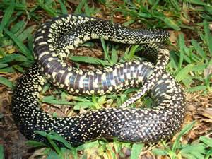 Speckled King Snake Louisiana