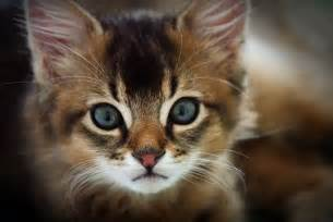 cats breeds the somali cat breed
