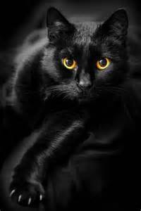 black cats 17 best ideas about black cats on black