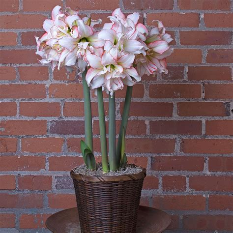 amaryllis harlequin 174 white flower farm