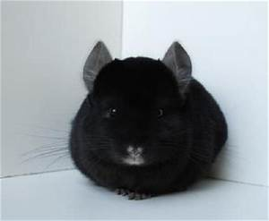 chinchilla black ebony - Recherche Google | chinchilla ...