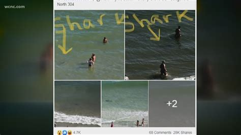 sharks spotted  swimmers  north myrtle beach wcnccom